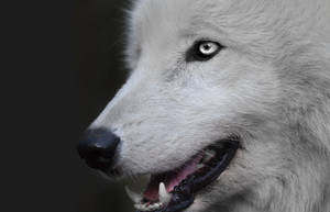 Purity - White Wolf by Point-Blank-Silence