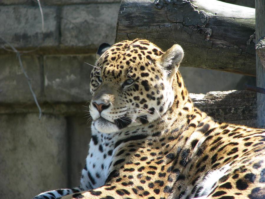 Leopard by njwalton001