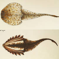 Gabreyaspis and Hibernaspis by PrehistoryByLiam