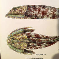 Cephalaspis Detail by PrehistoryByLiam