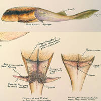 Microbrachius by PrehistoryByLiam