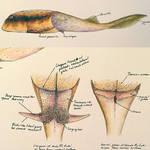 Microbrachius