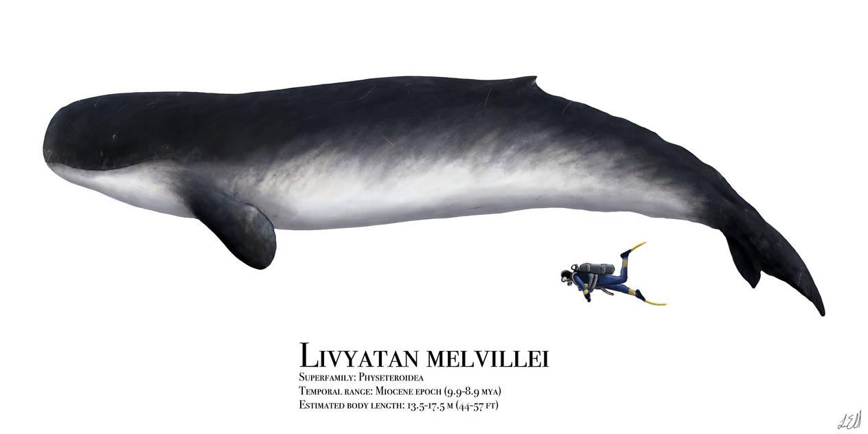 Livyatan melvillei by PrehistoryByLiam