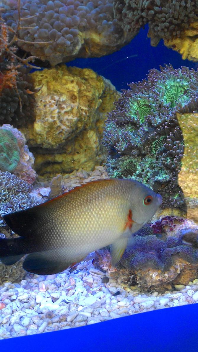 Halfback angelfish