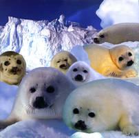 Harp Seals by TheSeaKnight