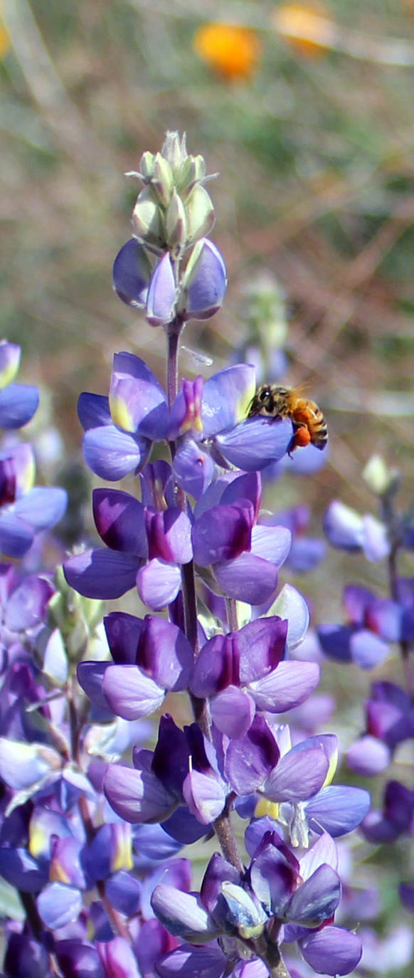 Bee on Lupine by Dragonrose36