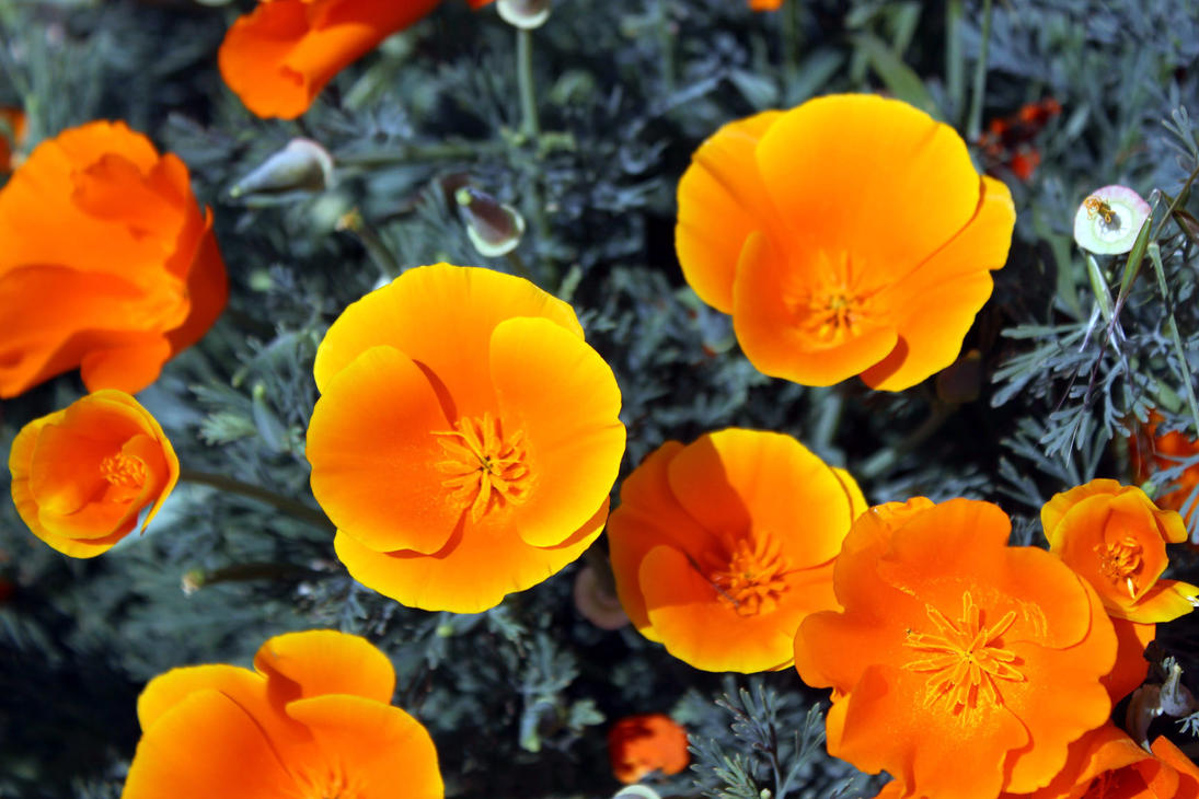 California Poppies by Dragonrose36