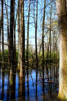 Reflection in Swamp Water