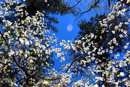 Flowering Dogwood against Blue Sky with Lens Flare