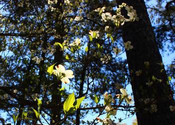 Flowering Dogwood Blossoms in Sunlight