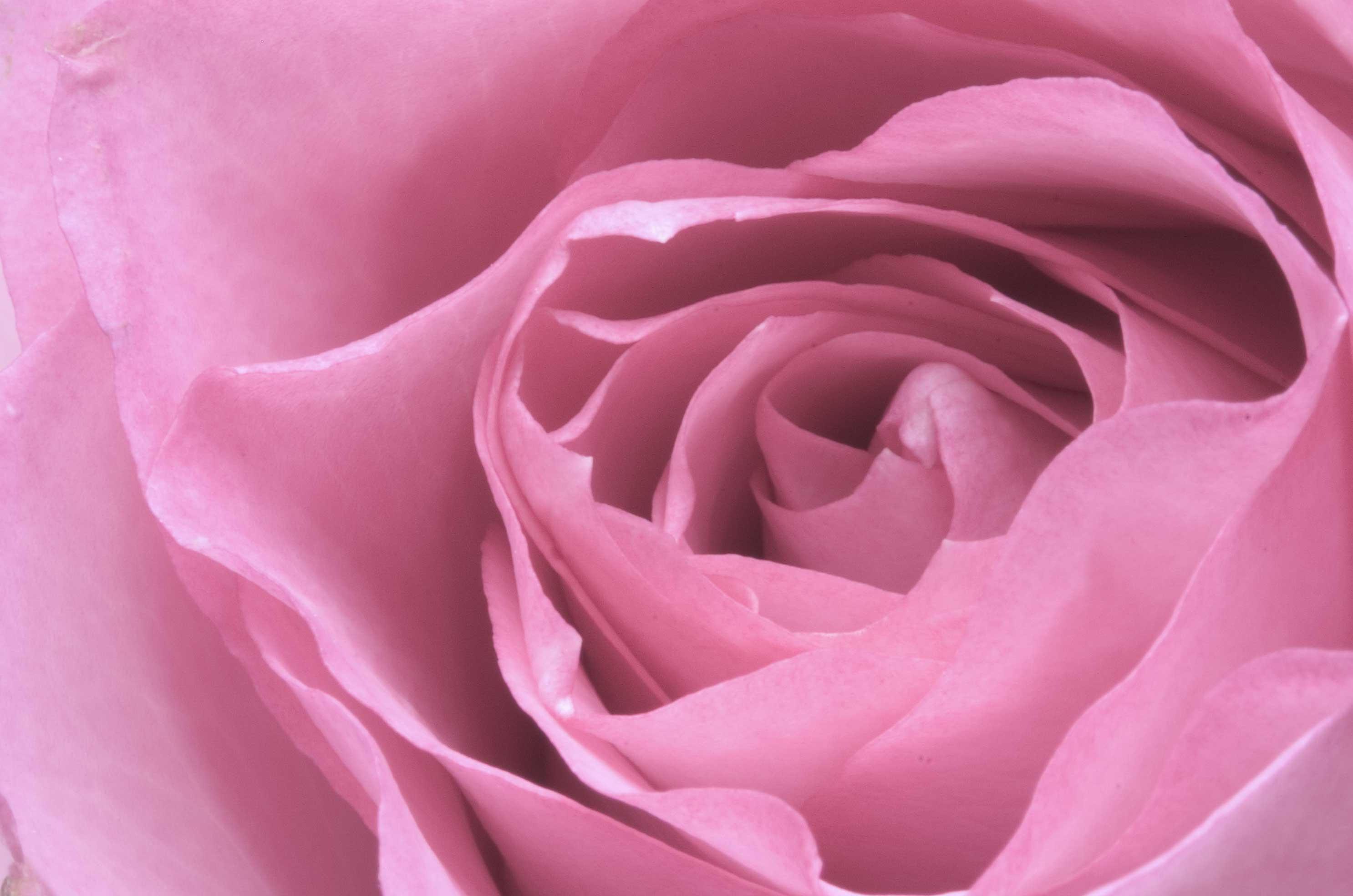 Rose by Carlosfandango