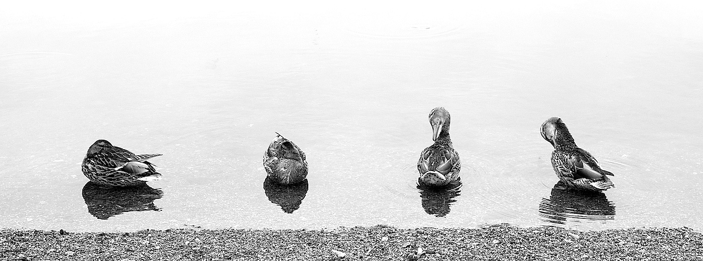 Ducks by djioni