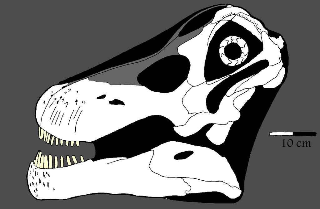 Nemegtosaurus skull by palaeozoologist