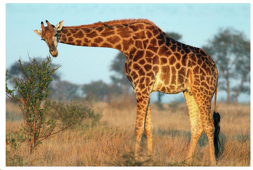 Giraffe Horizontal Neck