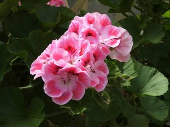 Pink Blossoms 1 by artnovation