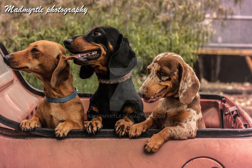 Dachshunds by madmyrtle
