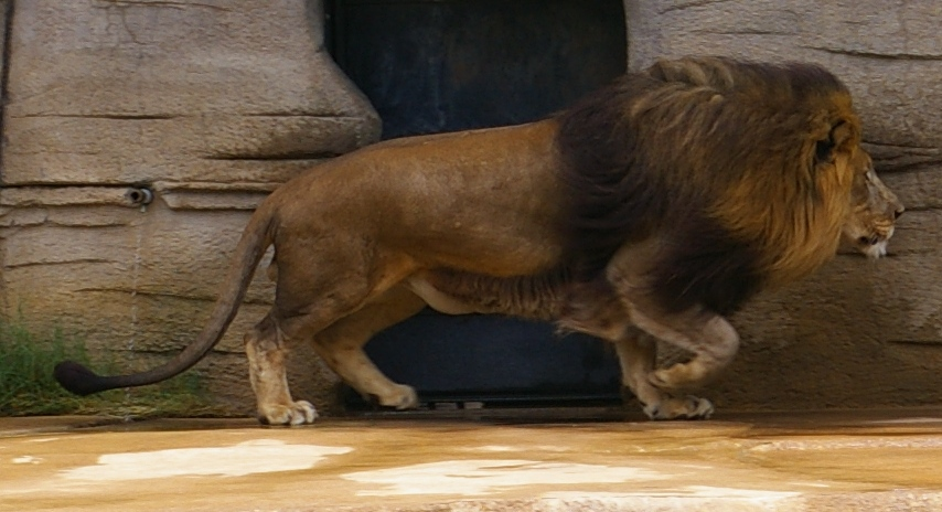 Lion by OverStocked