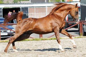 Arabian stallion I