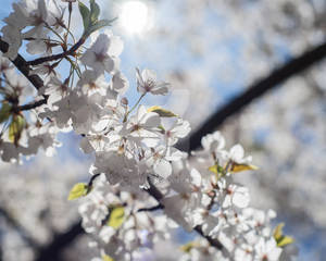 Japanese Cherry Blossoms - Branck Brook Park #2