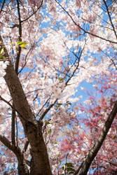 Japanese Cherry Blossoms - Branck Brook Park #3