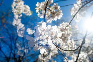 Japanese Cherry Blossoms - Branck Brook Park #4