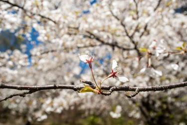 Japanese Cherry Blossoms - Branck Brook Park #5