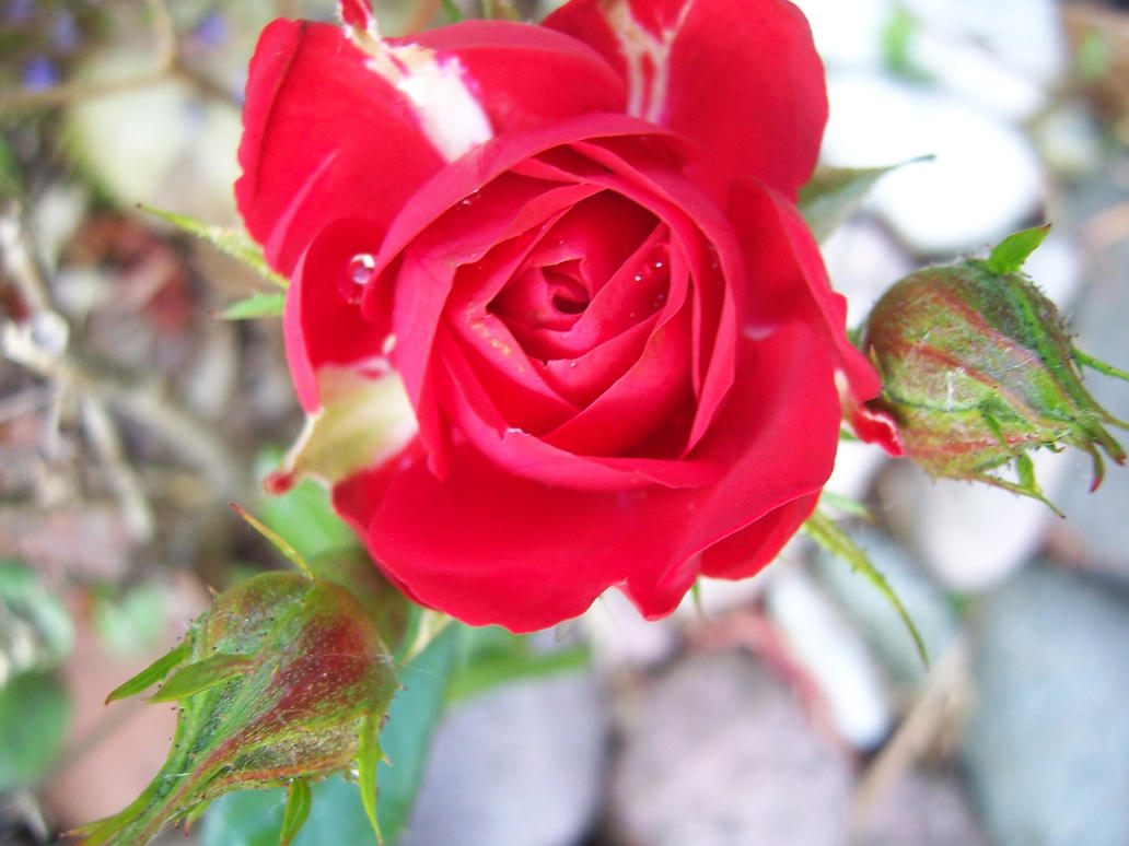 Little red rose essay