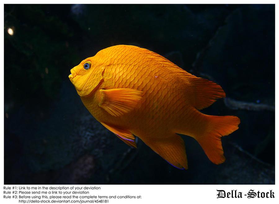 Orange Ghiribaldi Fish by Della-Stock