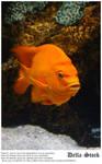 Orange Ghiribaldi Fish.4