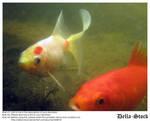 Hai Mr. Goldfish