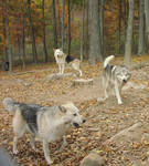 Wolf Pack 01