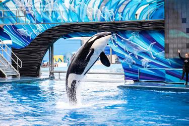 Orca Breaching by Della-Stock