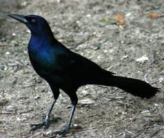 Grackle 'Raven' by Della-Stock