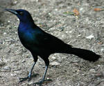 Grackle 'Raven'