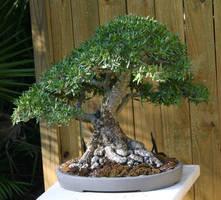 Bonsai- Willow Leaf