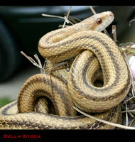 Yellow Rat Snake.1 by Della-Stock