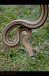 Yellow Rat Snake.3