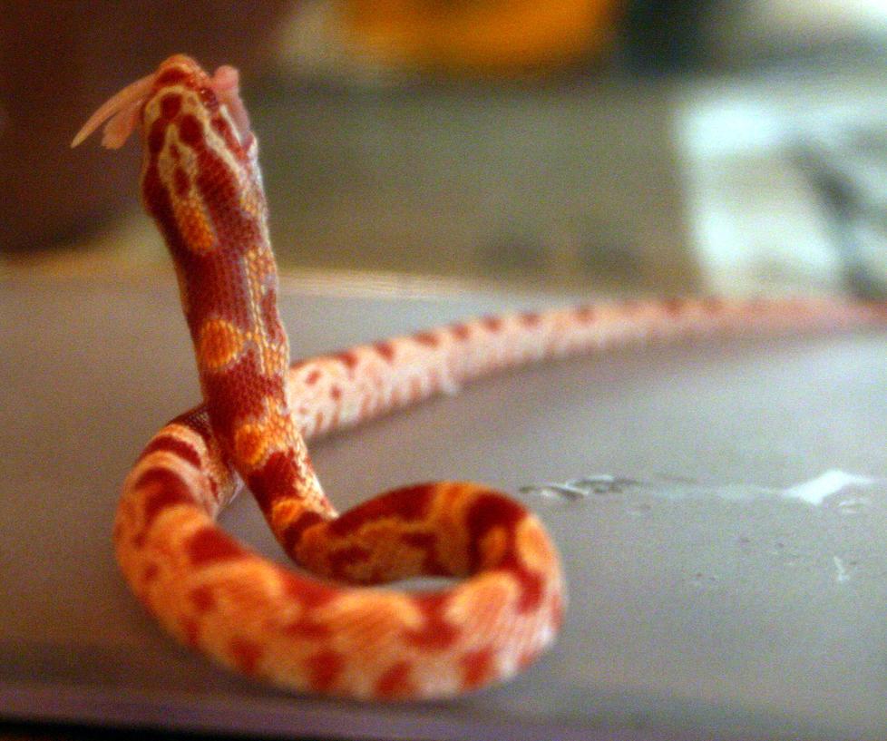 What do Corn Snakes Eat Albino Corn Snake Eating by