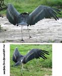 Stork Wings
