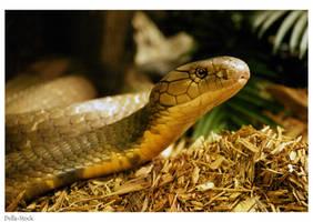Snake: King Cobra Head by Della-Stock