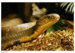 Snake: King Cobra Head