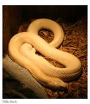 Snake: Albino Monocled Cobra