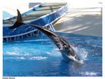 False Killer Whale Tale