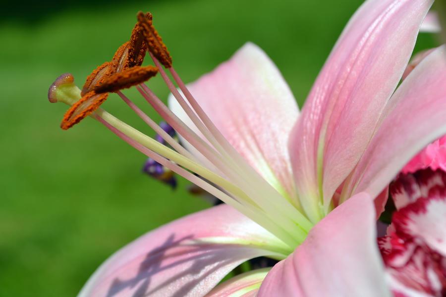 pink lily by jeanbeanxoxo