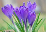 crocuses - two