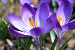 crocuses - three