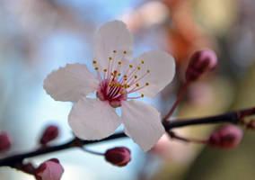cherry blossom by jeanbeanxoxo