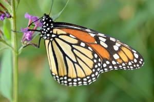 monarch-two by jeanbeanxoxo