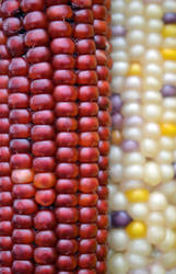Indian Corn by jeanbeanxoxo