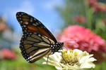 the monarch butterfly by jeanbeanxoxo